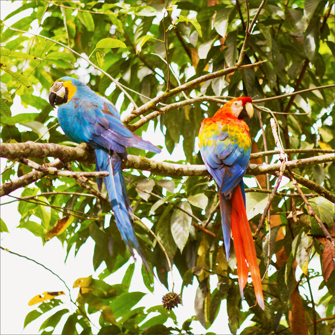 13_Kris_Davidson_National_Geographic_Macaws_Ecuador_Amazon