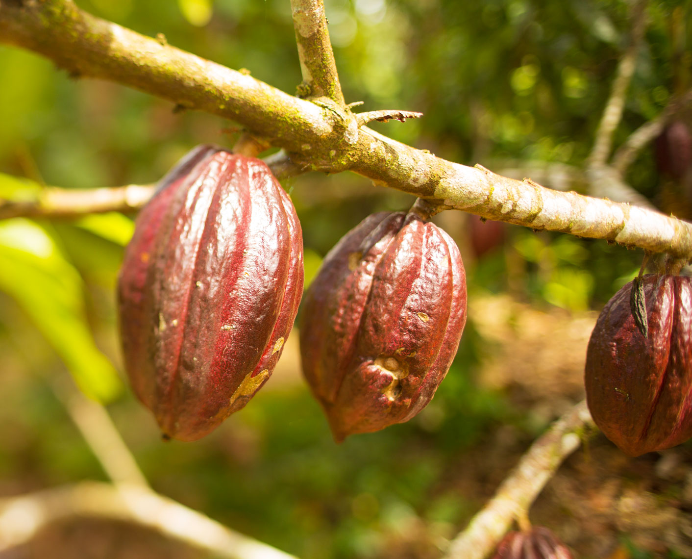 32_Kris_Davidson_National_Geographic_Cacao_Pod_Ecuador_Amazon